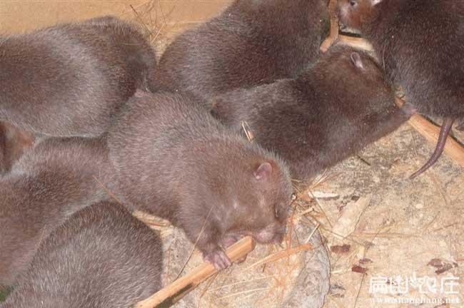 养殖竹鼠销售问题