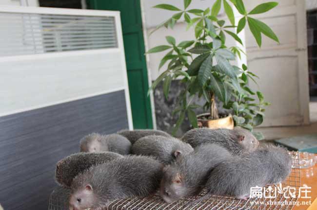 梁秋波竹鼠养殖基地