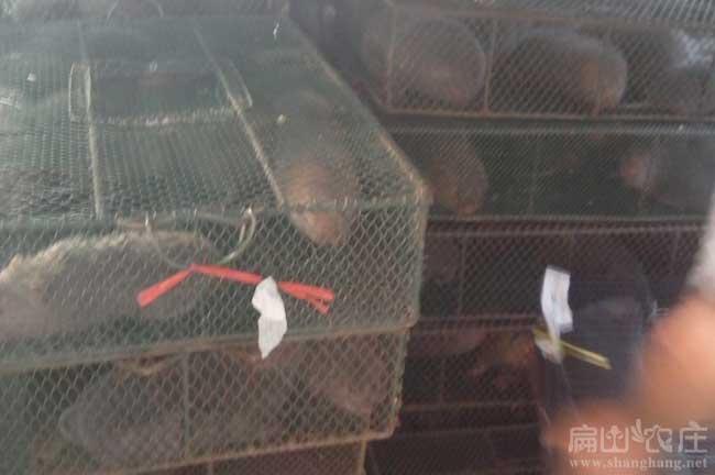 竹鼠运输的重要性