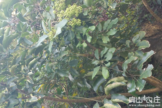 三江兔子鸭脚木繁殖基地