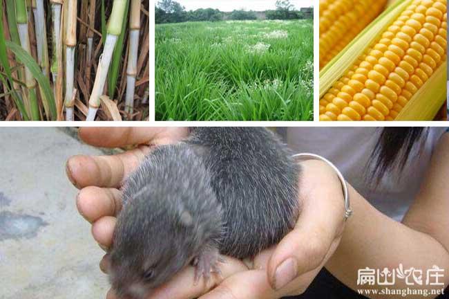 湖南竹鼠种苗繁殖培训