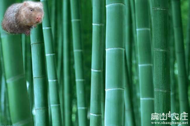 贵港竹鼠养殖基地