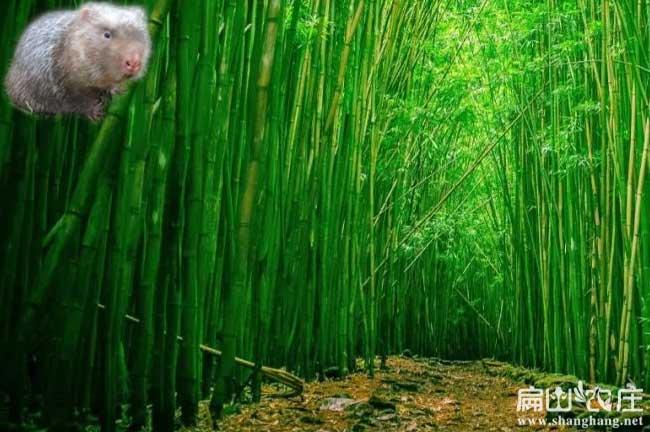 竹子种植方法