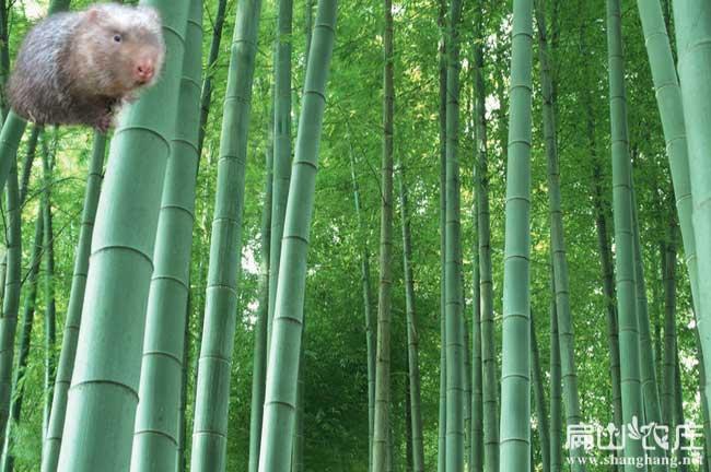 玉林竹鼠竹子种植
