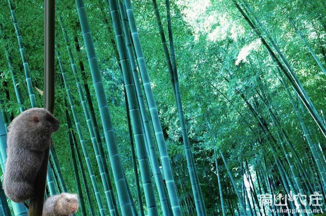 福建最大的竹鼠养殖基地