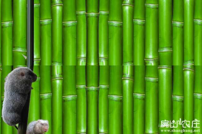 玉林竹鼠竹子