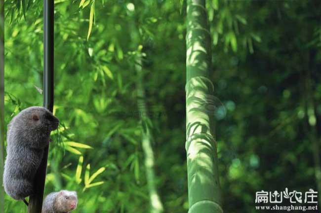 竹鼠食物竹子