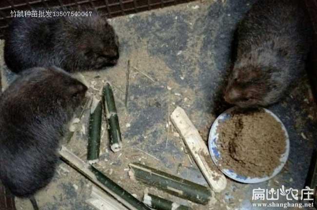 玉林银星竹鼠种植批发