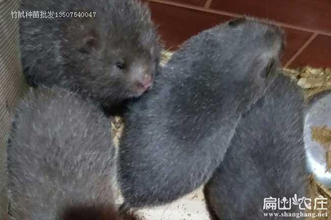 贵州毕节最大的竹鼠养殖基地