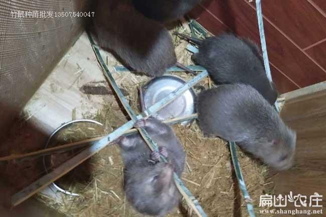 长沙银星竹鼠养殖场