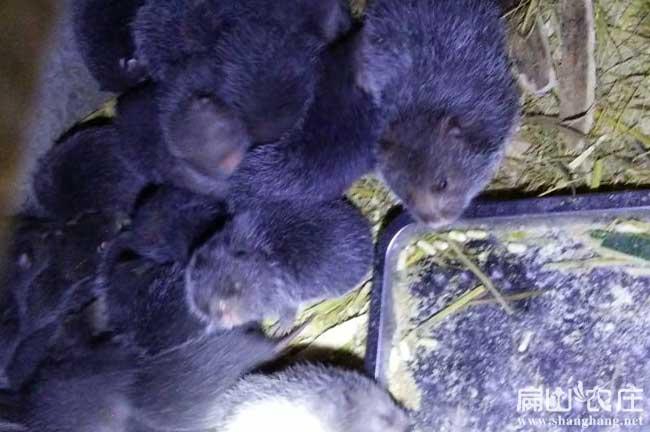 中国黑竹鼠养殖基地