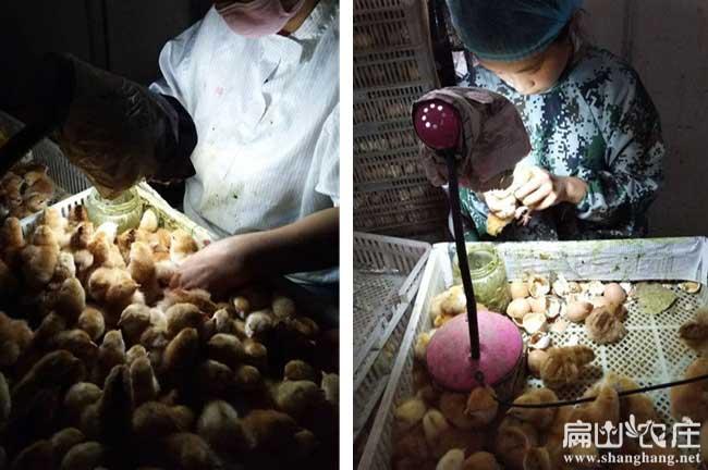 农村养殖什么样的土鸡好?