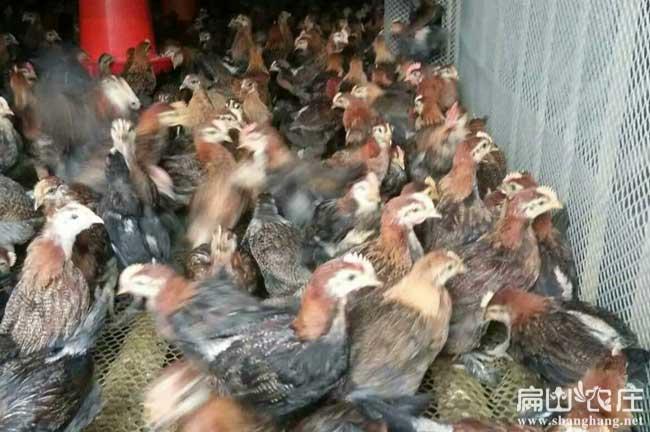 融安散养土鸡养殖