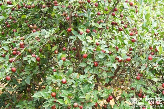 良种高产岑溪软枝油茶3号油茶