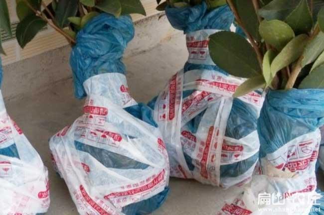 中国高产油茶苗发货