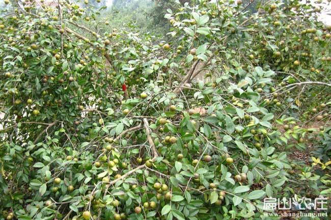攀枝花油茶基地