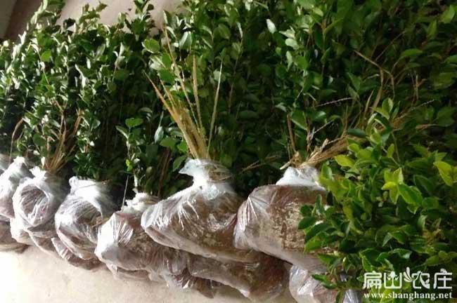福建油茶种植合作加盟