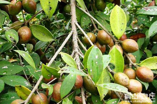 中科大果红花油茶果子