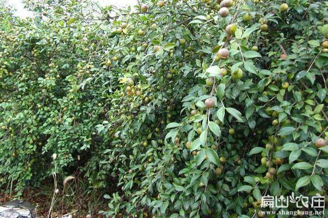 寻找宁德油茶种植合作者