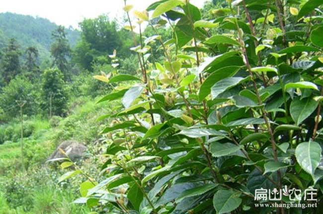 桑植茶树基地