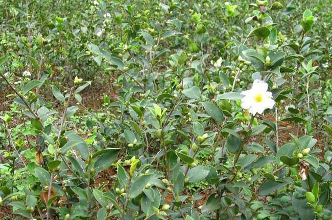 寻找福州油茶种植合作者