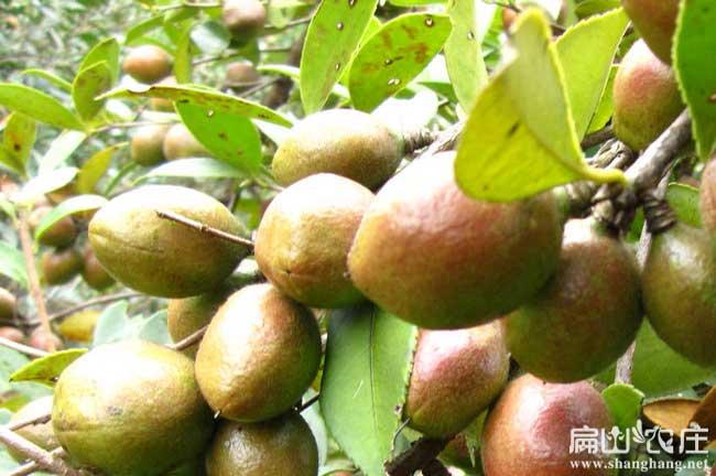 找南平油茶种植合作者