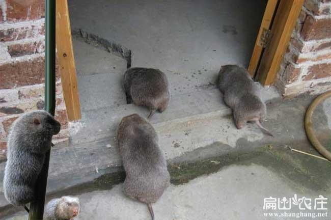 常德竹鼠养殖基地