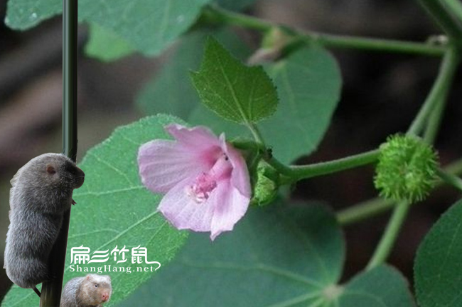 广西竹鼠肠炎中药地桃花