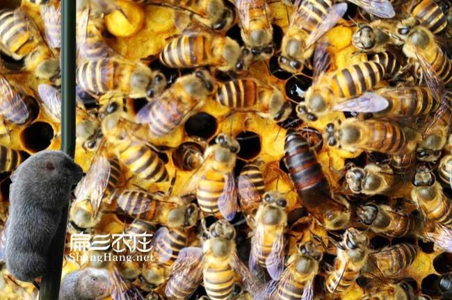 宜春蜜蜂批发