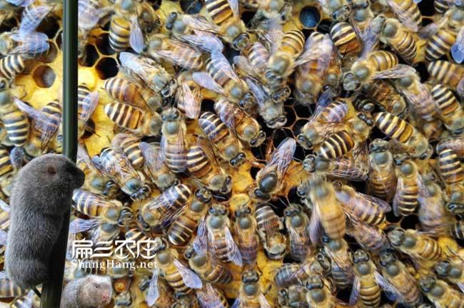 长汀蜂蜜种蜂