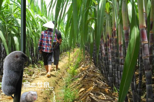 怀化甘蔗种植