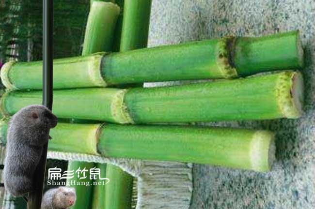 广东竹鼠养殖