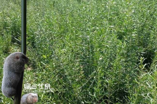 广西竹鼠肠炎中药枸杞根茎