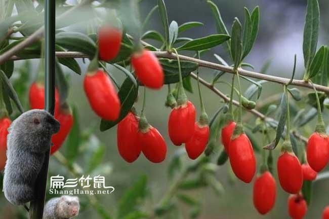竹鼠肠炎中药枸杞根茎