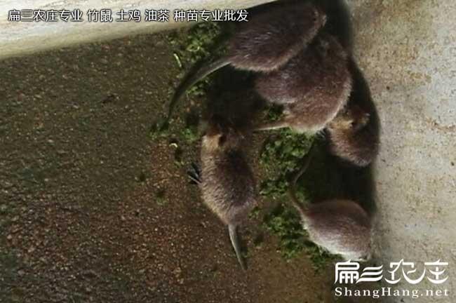 广东海狸鼠