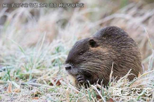 龙岩海狸鼠