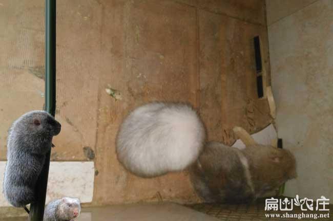 白毛竹鼠吃小竹鼠