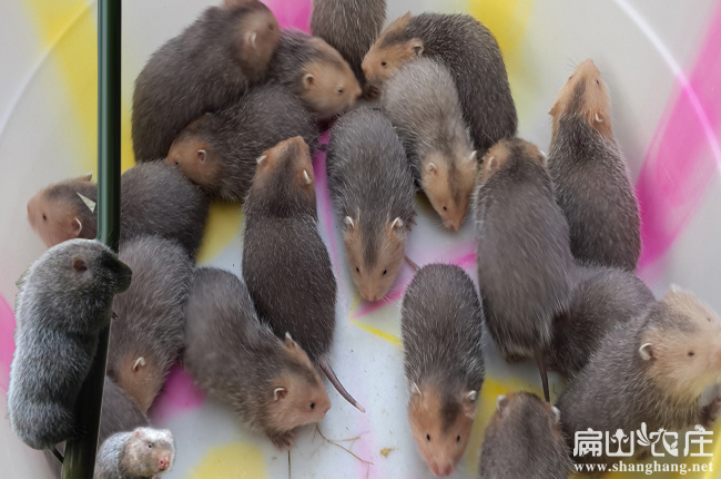 红颊竹鼠销售