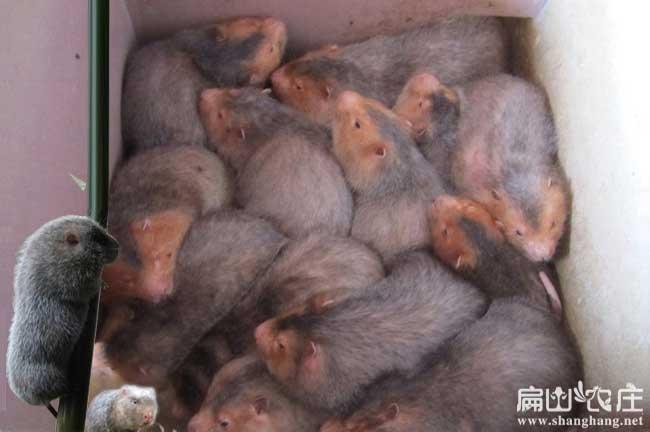 红颊竹鼠引种注意事项