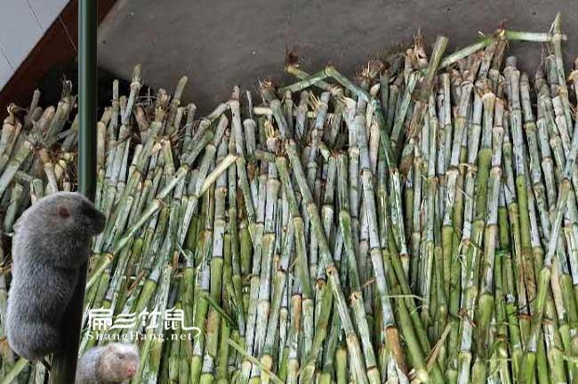 多吃皇竹草