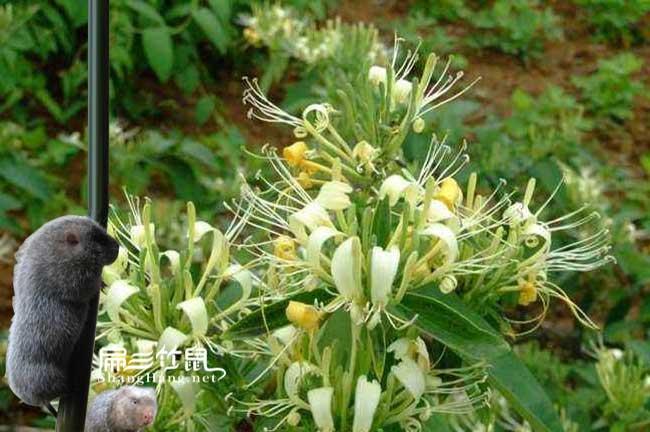 广西竹鼠肠炎中药金银花