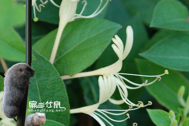 龙山竹鼠养殖金银花