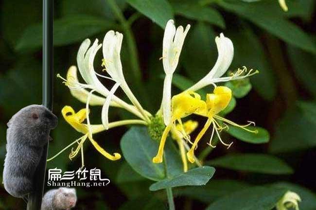 四川竹鼠肠炎中药金银花