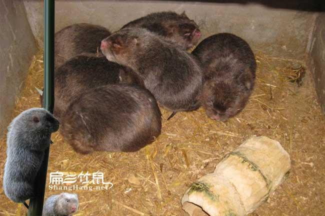 竹鼠拉稀主要治疗方法