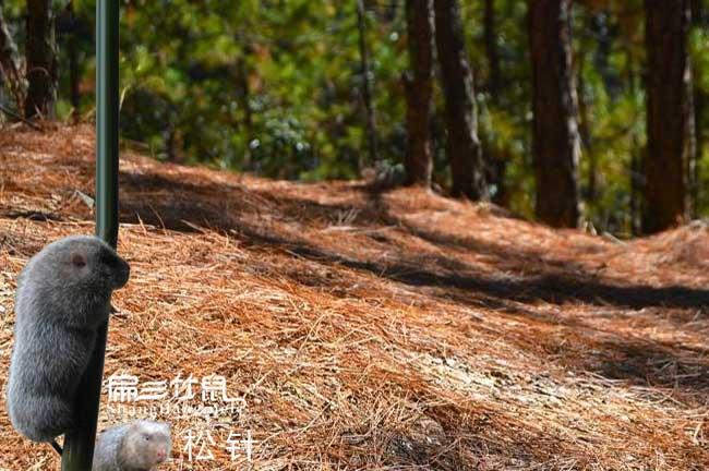 竹鼠松树叶子的作用