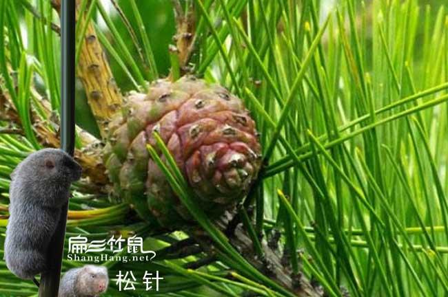 竹鼠松针预防腹泻