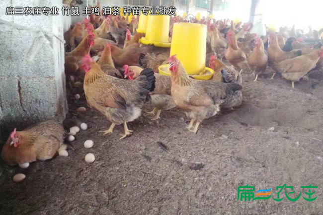 枣庄孵化销售快羽土鸡苗