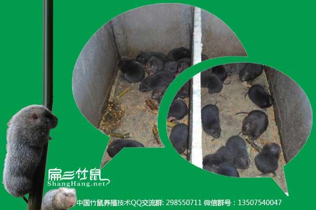 竹鼠养殖做种的