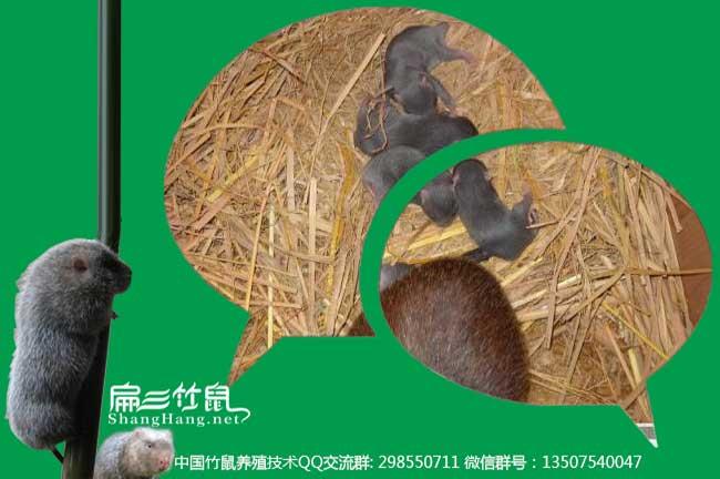 竹鼠养殖微信交流