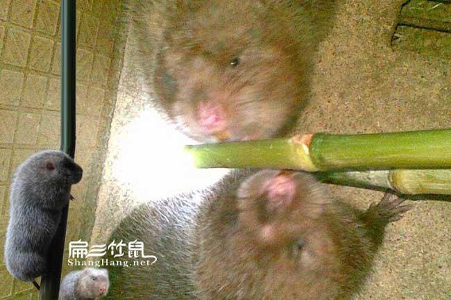 中国竹鼠养殖大王